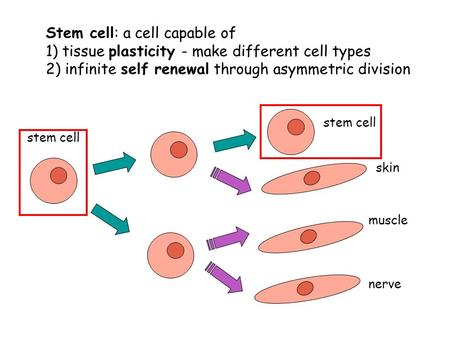 Stem cell: a cell capable of 1) tissue plasticity - make different cell types 2) infinite self renewal through asymmetric division skin muscle nerve stem.
