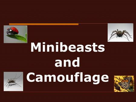 Minibeasts and Camouflage. Animals and colour  Animals have two main reasons for being a particular colour:  i) Camouflage - matching the colour of.