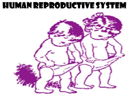 Human Reproductive System. Objectives Explain the roles of the male and female reproductive systems. Describe the structure and function of the male and.