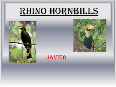 Rhino Hornbills Javier. Habitat Live edge of the Rain forest Spend most of their live on trees.