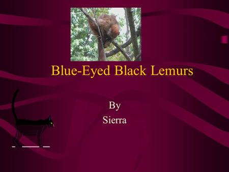 Blue-Eyed Black Lemurs By Sierra. Introduction What has a nose like a rat, ears like a bat, and looks like a housecat? Females are a reddish brown, while.