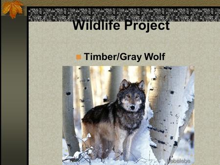 Wildlife Project Timber/Gray Wolf. History Gray wolves inhabited areas from the southern swamps to the northern tundra. They existed wherever there was.