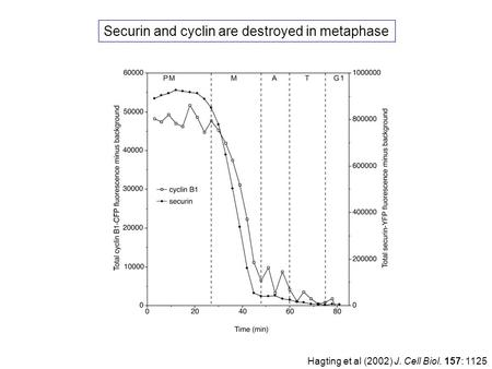 Hagting et al (2002) J. Cell Biol. 157: 1125 Securin and cyclin are destroyed in metaphase.