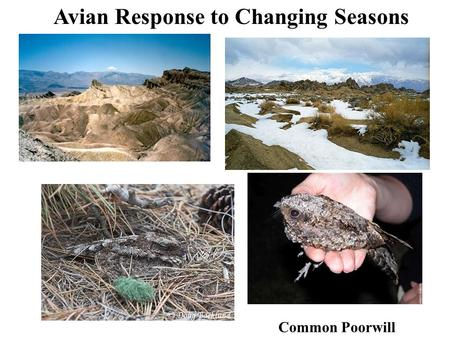 Avian Response to Changing Seasons Common Poorwill.