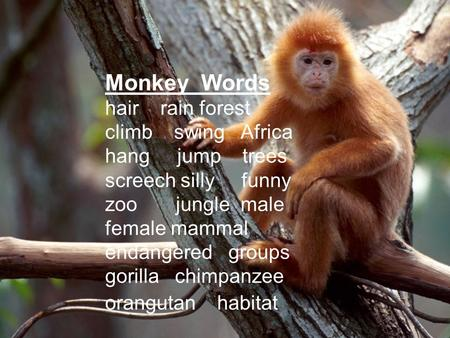 Monkey Words hair rain forest climb swing Africa hang jump trees screech silly funny zoo jungle male female mammal endangered groups gorilla chimpanzee.