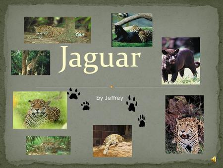 Jaguar by Jeffrey Mammals Fish Reptiles Birds Amphibians.