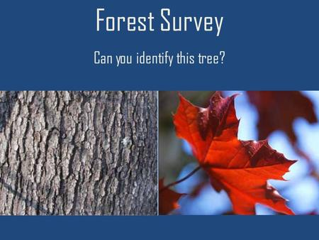 Forest Survey Can you identify this tree?. Red Maple.
