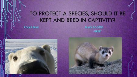 TO PROTECT A SPECIES, SHOULD IT BE KEPT AND BRED IN CAPTIVITY? POLAR BEAR BLACK FOOTED FERRET.
