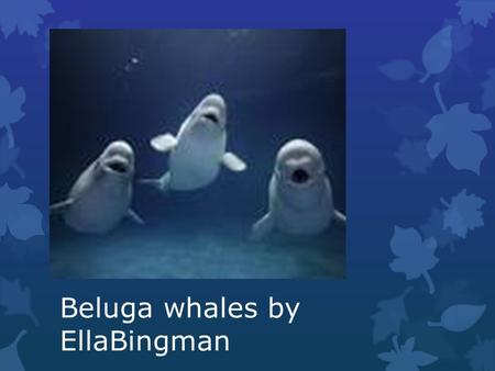Beluga whales by EllaBingman. Length and weight and body parts Beluga whales grow to be 15 feet long.beluga whales weigh over 3,300 pounds. beluga whales.