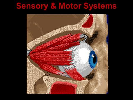 Sensory & Motor Systems. Some vocabulary: Sensation Action potentials that reach the brain via sensory neurons Perception The brain's awareness of sensations.