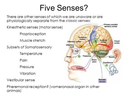 Five Senses? There are other senses of which we are unaware or are physiologically separate from the classic senses: Kinesthetic senses (motor sense) Proprioception.