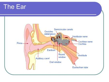 The Ear. Components of hearing mechanism - Outer Ear - Middle Ear - Inner Ear - Central Auditory Nervous System.
