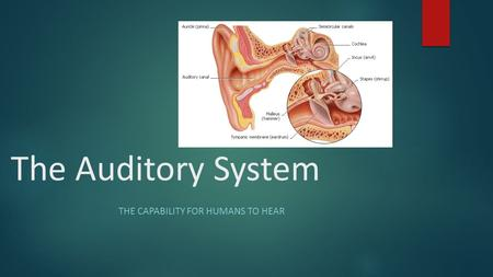 The Auditory System THE CAPABILITY FOR HUMANS TO HEAR.
