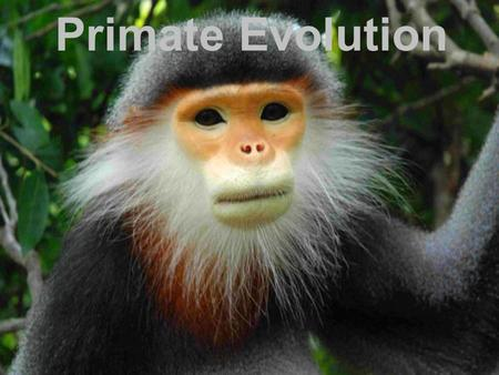 "Primate Evolution. THINK ABOUT IT –Primates means ""first"" in Latin. But what are primates ""first"" in? –When primates appeared, there was little to distinguish."