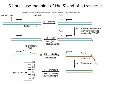 S1 nuclease mapping of the 5' end of a transcript.