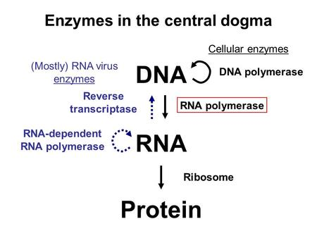 DNA RNA Protein Reverse transcriptase RNA-dependent RNA polymerase DNA polymerase RNA polymerase Ribosome Enzymes in the central dogma Cellular enzymes.