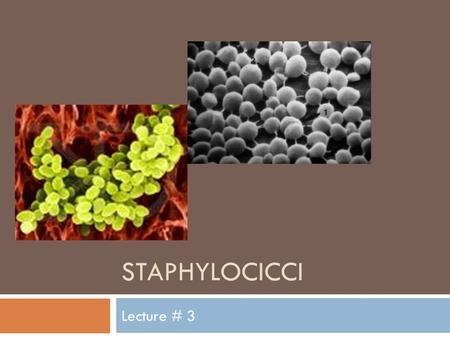 STAPHYLOCICCI Lecture # 3. Staphylococcus sp.  Morphology:  Gram positive cocci.  In clusters  Culture:  Facultative anaerobes  Incubation 37ºC.