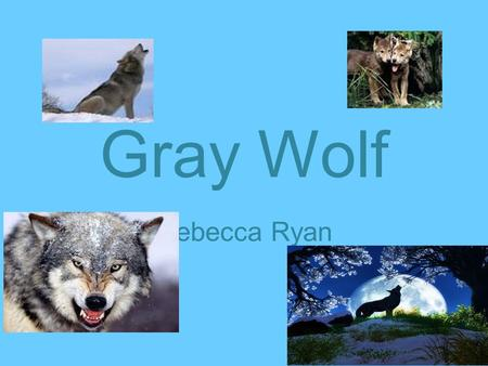 Gray Wolf Rebecca Ryan. Where does this animal live? Gray Wolves live in Canada, Alaska and northern parts of America,Europe and Asia.