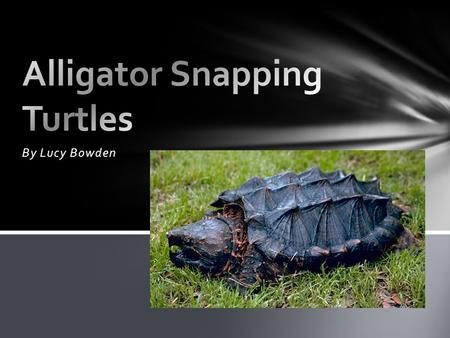By Lucy Bowden. An alligator snapping turtle is a reptile. An alligator snapping turtle has rough scaly skin Type of animal.