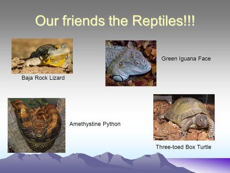 Our friends the Reptiles!!! Baja Rock Lizard Green Iguana Face Amethystine Python Three-toed Box Turtle.