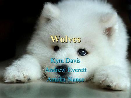 Wolves Kyra Davis Andrew Everett Amelia Nance. Appearance Appearance Wolves are similar to dogs because it has fur and ears that stick up just like a.