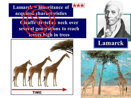 Lamarck Lamarck = Inheritance of acquired characteristics Giraffe stretches neck over several generations to reach leaves high in trees.
