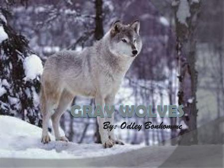 By: Odley Bonhomme GRAY WOLVES.
