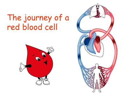 The journey of a red blood cell