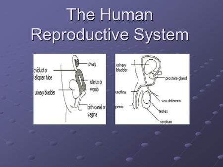 The Human Reproductive System. What is the purpose of the reproductive system? The reproductive system is responsible for: Creating and maintaining gametes.