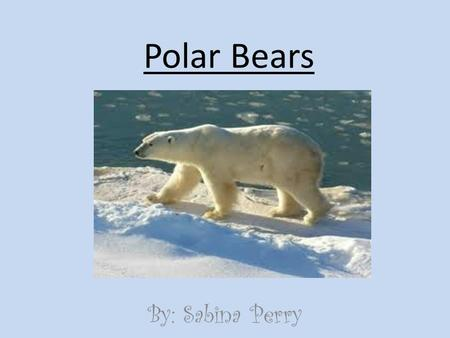 Polar Bears By: Sabina Perry. Classification and Description Ursus Maritimus, bear of sea Mammal, bear Males 8 1/3 ft. Females 6 ¼ ft. Males 1,700 lb.