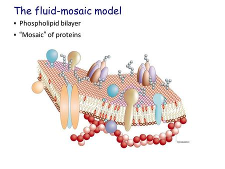 " Phospholipid bilayer  ""Mosaic"" of proteins The fluid-mosaic model."