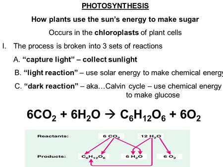 PHOTOSYNTHESIS How plants use the sun's energy to make sugar Occurs in the chloroplasts of plant cells I.The process is broken into 3 sets of reactions.