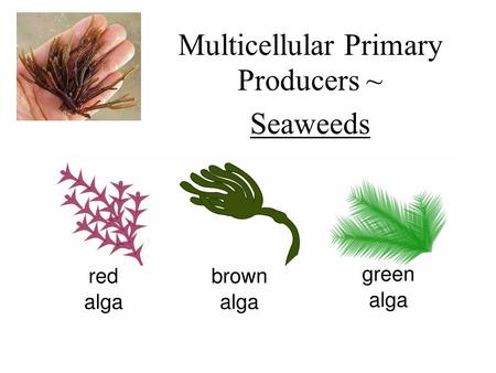 Multicellular Primary Producers ~ Seaweeds. Seaweeds – marine Macroalgae Threee types – red, brown, and green algae Most species are benthic Can be fouling.