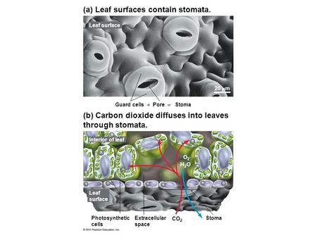 (a) Leaf surfaces contain stomata. (b) Carbon dioxide diffuses into leaves through stomata. Leaf surface 20  m Guard cells  Pore  Stoma Interior of.