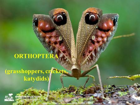 (grasshoppers, crickets, katydids)