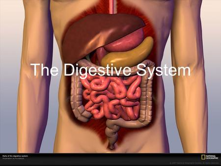 The Digestive System. Breaks down food into smaller particles so cells can use it Built around alimentary canal (one-way tube passing through body) Digestive.