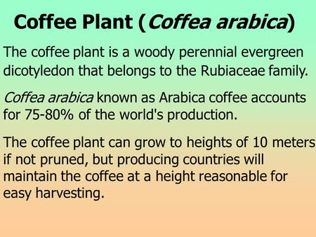 Coffee Plant (Coffea arabica) The coffee plant is a woody perennial evergreen dicotyledon that belongs to the Rubiaceae family. Coffea arabica known as.