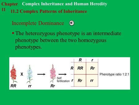 11.2 Complex Patterns of Inheritance Complex Inheritance and Human Heredity Incomplete Dominance  The heterozygous phenotype is an intermediate phenotype.