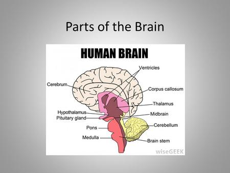 Parts of the Brain. Cerebrum The biggest part of the brain; takes up 85% It is the thinking part of the brain and controls voluntary muscles Your memory.