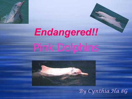 Endangered!! Pink Dolphins By Cynthia Ha 8G. Basic Knowledge about the Pink Dolphin Diet: crabs, catfish, small river fish and even small turtles. Life.