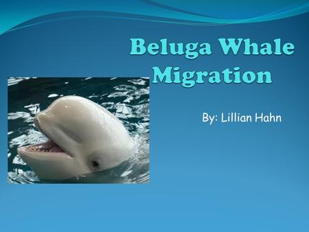 By: Lillian Hahn. About the Beluga Whale The beluga whale (Delphinapterus leucas) is a small, white-toothed whale. Adult belugas may reach a length of.