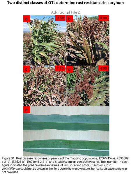 Figure S1. Rust disease responses of parents of the mapping populations, ICSV745 (a), R890562- 1-2 (b), IS8525 (c), R931945-2-2 (d) and S. bicolor subsp.