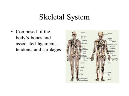 Skeletal System Composed of the body's bones and associated ligaments, tendons, and cartilages.