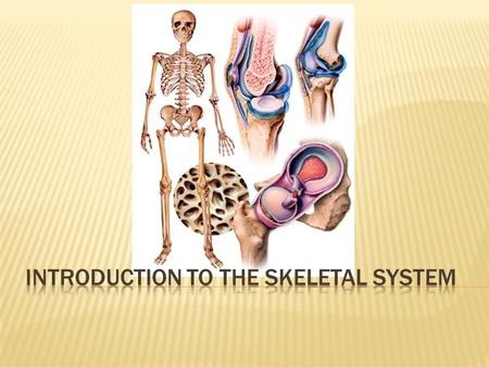  Histology of Bone Tissue  Bone Function and Structure  Bone Growth & Development  Joints  The Axial Skeleton  The Pectoral Girdle  The Upper Limbs.