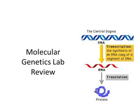Molecular Genetics Lab Review. Bacterial Transformation Genetic transformation—host organism takes in and expresses foreign DNA Genetic engineering—manipulation.
