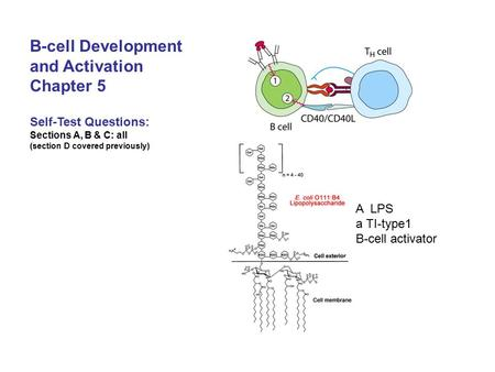 B-cell Development and Activation Chapter 5 Self-Test Questions: Sections A, B & C: all (section D covered previously) A LPS a TI-type1 B-cell activator.