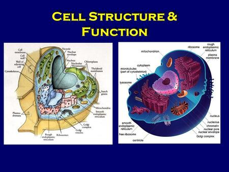 cells the smallest structure that is Plant, animal and bacterial cells biological cells are the basic units of life ie the smallest units that can be alive see also prokaryotic cell structure.