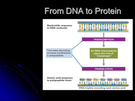 From DNA to Protein. Transcription Translation The Genetic Code.