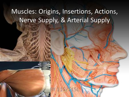 Muscles: Origins, Insertions, Actions, Nerve Supply, & Arterial Supply BY 115/115L.