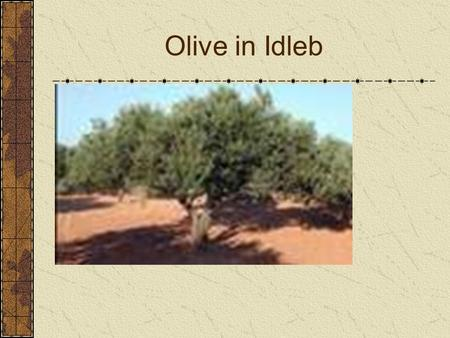 Olive in Idleb. The history of olive is associated with the history of the Mediterranean Sea basin and that it is an important part of the civilization.